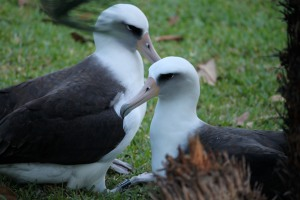 Nov 2012: returning albatrosses find their mates